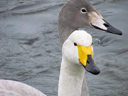 長内川の白鳥