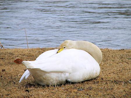 避難する長内川の白鳥